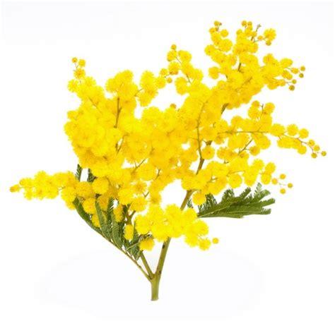 mimose fiori mimose le caratteristiche e i metodi per curare le mimose