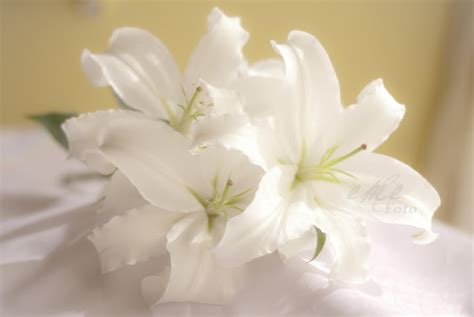 imagenes de lilis blancas el lilium una flor llena de historia