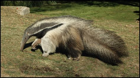 giant anteater carrying  baby    myrmecophaga tridactyla youtube