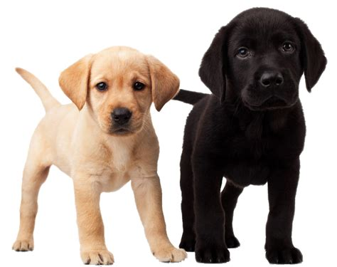 puppy png png image picture dogs