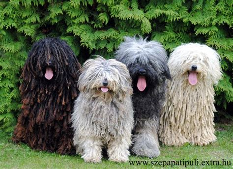 sheep puppies hungarian puli sheep dogs if i could live with 100 dogs