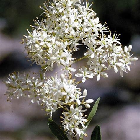 australian christmas plants australian plant information