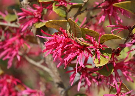 early pink flowering shrubs use loropetalum for early blooms mississippi