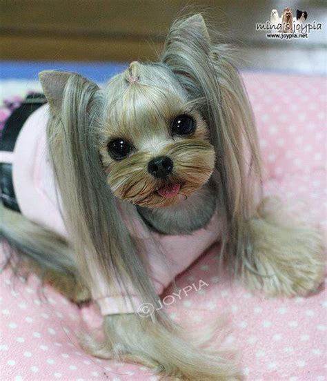 yorkie haircuts pictures only 57 best images about puppy grooming on pinterest puppys