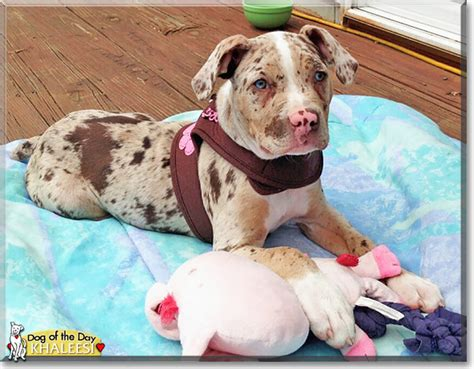 catahoula bulldog puppies american bulldog catahoula breeds picture