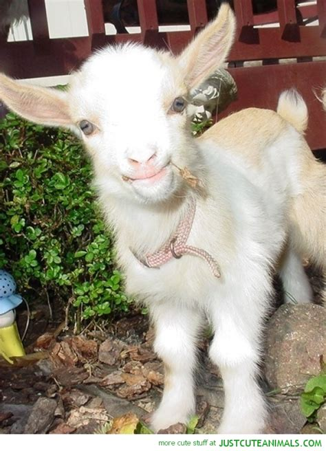 new year 2015 goat baby search results for new year 2015 for baby