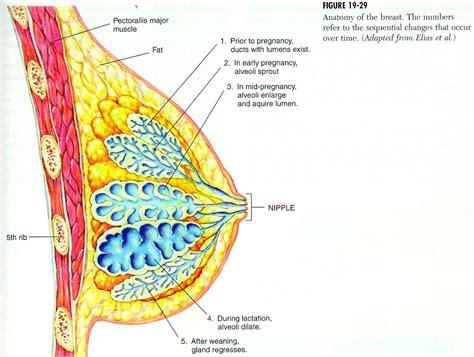 glandula submaxilar anatomia pin glandula mamaria on pinterest