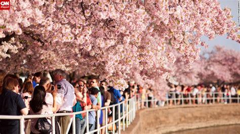 cherry blossom festival dc brings cherry blossoms