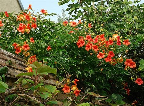 Plante Grimpante Orange la bignone une grimpante id 233 ale pour l 233 t 233