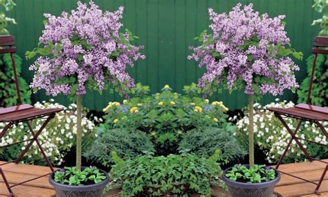 ever blooming potted gardenia groupon goods dwarf lilac standard tree groupon goods