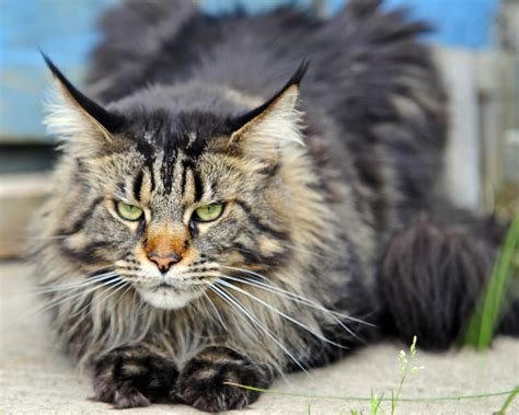 wallpaper angry cat angry but beautiful maine coon cat wallpapers and images