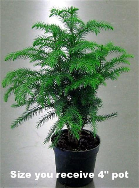 norfolk island pine the indoor christmas tree 4 quot pot