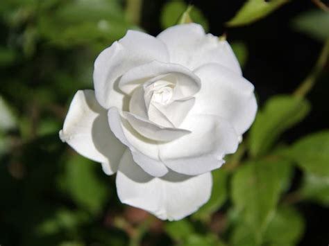 fiori simili alle fiori bianchi simili alle gpsreviewspot
