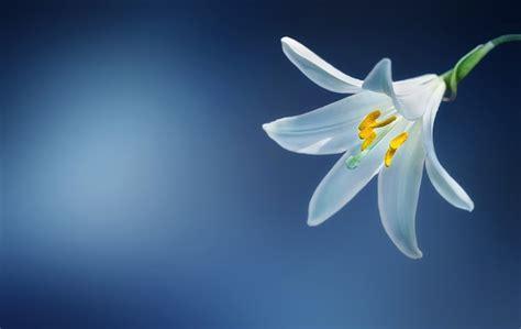 imagenes de flores espirituales los lirios significado y atributos de estas flores