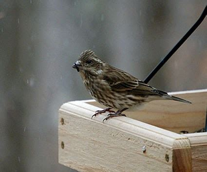 juvenile house finch house finch juvenile www pixshark com images galleries