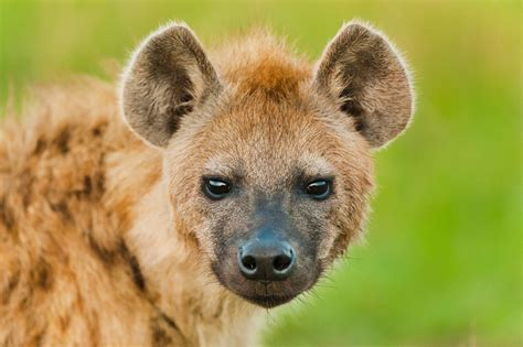 images of hyenas hyena free hd wallpapers images backgrounds