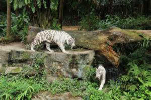 new stripes spots and a mane event at singapore zoo