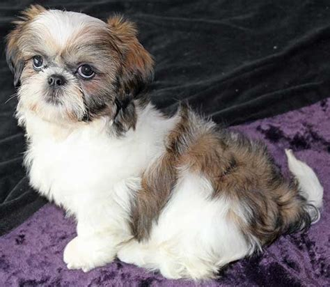 shih tzu for sale south florida mini australian shepherd puppy for sale alternative views breed mini breeds picture