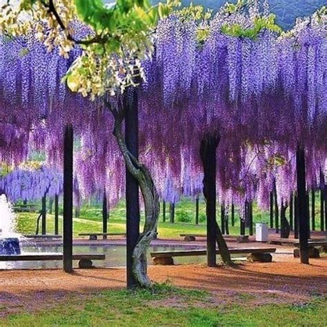 Wisteria In Japan by Wisteria Flower Tunnel In Japan Anime Amino