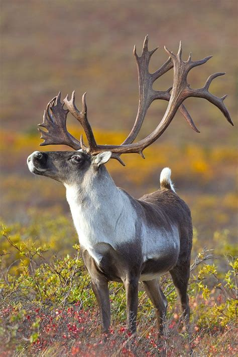 caribou hooves horns