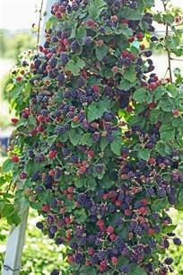 Ideas For Garden Trellis Growing Blackberries Nifty Homestead