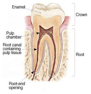 root canal diagram root canal therapy in mobile alabama maitre crabtree
