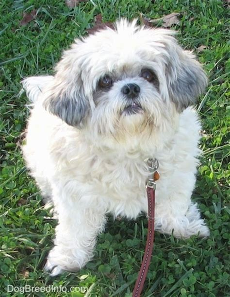 how long does it take for a shih tzu to grow back her hair shih tzu dog breed pictures 1