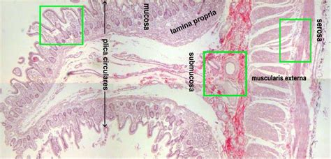 middle section of the small intestine jejunum microscopic structure