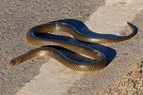 pedro paramo serpents tail 1781253161 culebra parda de agua sw snake