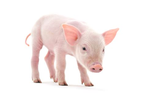 pig the greased pig contest pet trending