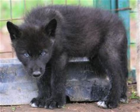 5 11 Black Wolf Brown 17 best images about wolf on wolves a wolf