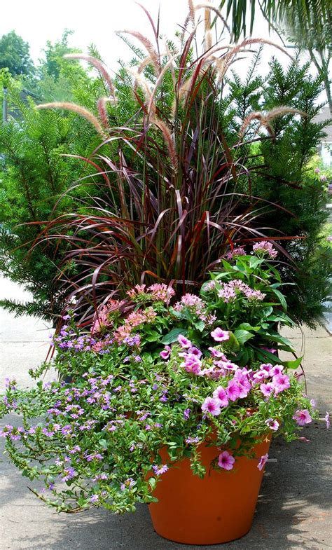 images  fountain grass container  pinterest