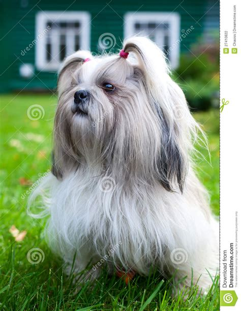 how to my shih tzu puppy to sit shih tzu stock photography image 27410822