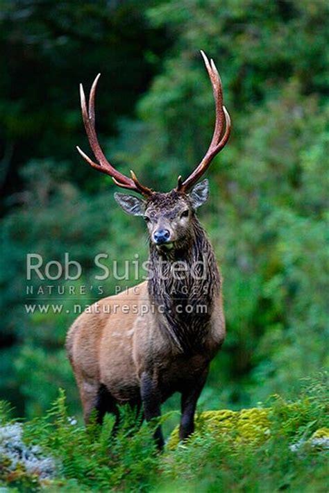 wild young wapiti red deer cross hybrid bull fiordland