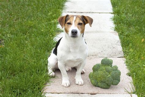 dogs broccoli can dogs eat broccoli the dos and donts of feeding broccoli to dogs