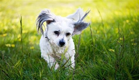 shih tzu maltese span 31 cutest small breeds that are best for apartment