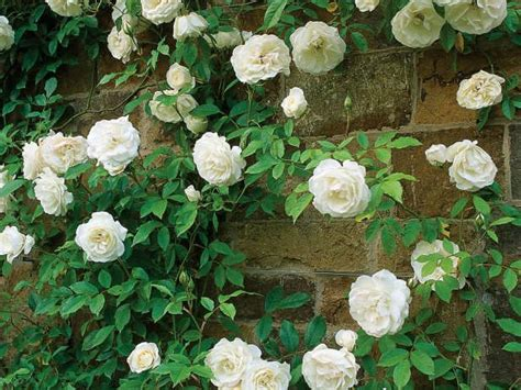 vigorous climbing plants 10 best images about landscaping our yard on