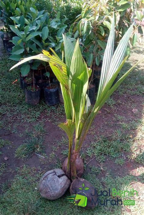 Bibit Kelapa Genjah Entok bibit kelapa genjah entok 60cm jualbenihmurah