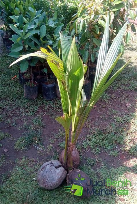 Bibit Kelapa Entok bibit kelapa genjah entok 60cm jualbenihmurah