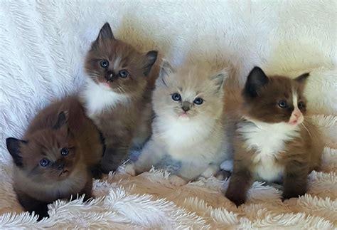2 ragdoll kittens available ragdoll kittens amorpurrfectragdolls