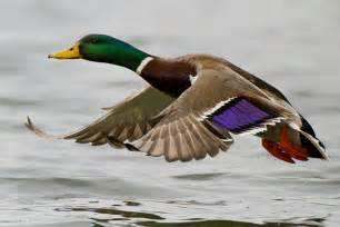 Backyard Birding Magazine by Flickr Photo Showcase Ducks In Flight Birdwatching