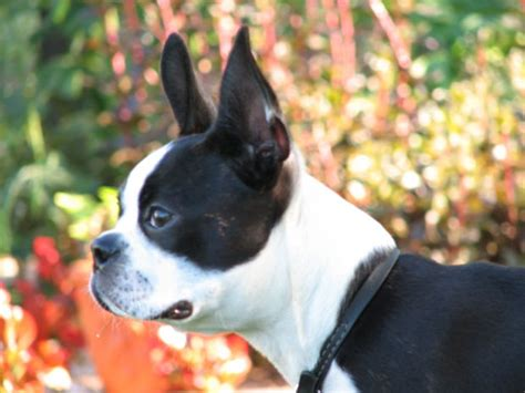 Do Boston Terrier Shed by Pet Pictures Terrier Breeds Popular Breeds