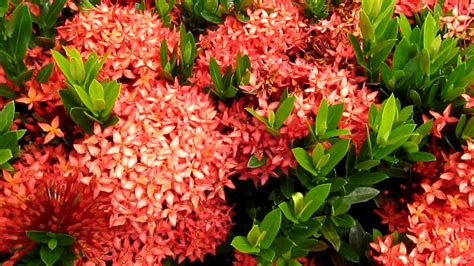 tropical plants ixora flowers youtube