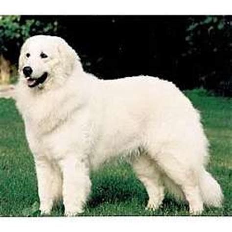 maremma puppies for sale maremma sheepdog puppies for sale from reputable breeders