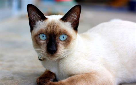 cat wallpaper latest siamese cat wallpapers hd download