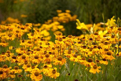 late blooming perennials 6 late flowering perennials lisa cox garden designs blog