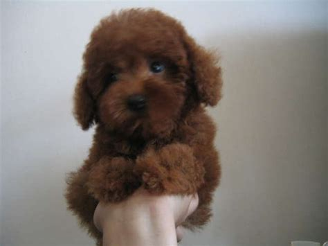 poodle puppies for adoption dogs poodle for sale adoption in singapore adpost classifieds