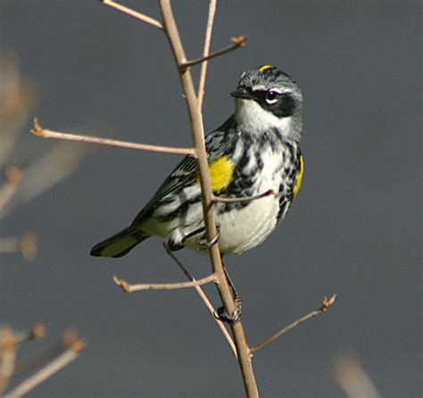 migration monitor yellow rumped warbler birds and blooms