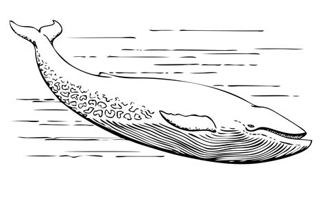 whale clipart black and white sharkwhale clipart black and white pencil and in color