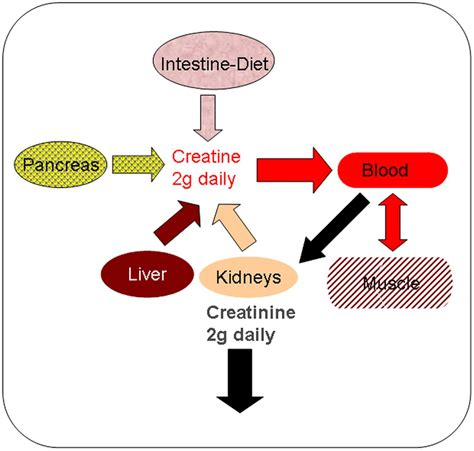 creatine liver the use of creatine supplements in the journal